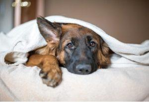 "Pictured: a German Shepherd hiding under the covers of a bed. The image symbolizes companies being in the ""dog house"" and needing to issue an apology."